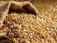 پرداخت ۵۰درصد از مطالبات گندمکارن به صورت الحساب/ قیمت خرید گندم از کشاورزان در واقع ۹۱۰تومان است