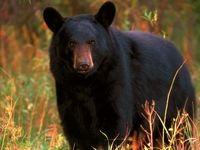 حمله خرس در ایذه یک کشته برجای گذاشت