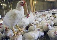 روند سینوسی قیمت مرغ و ضرری که عاید مردم میشود