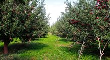 عقب افتادگی 3میلیون تنی از اهداف تولید محصولات باغی/ کمبود میوه نداریم