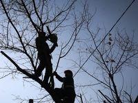 هرس زمستانه درختان تهران +تصاویر