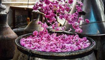 جشنواره گلابگیری کاشان +عکس