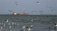 مرغان ماهی خوار سواحل بندرعباس +تصاویر