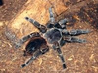 پیرترین عنکبوت جهان که با نیش زنبور مُرد +عکس