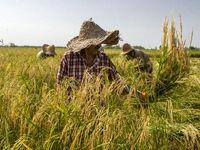 تولید ۳میلیون و ۳۰۰هزار تن شلتوک برنج در کشور/ پیشبینی تولید ۹میلیون و ۵۰۰هزار تن ذرت علوفهای