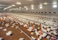پیشبینی کاهش قیمت مرغ در پی افزایش عرضه شب عید