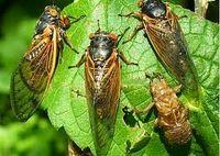 حشرهای عجیب که هر ۱۷سال از زمین بیرون میآید! + عکس
