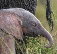 تولد فیل صورتی! +عکس