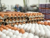 تولید تخم مرغ از مرز ۲هزار تن گذشت/ بینیاز از واردات هستیم
