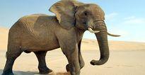 راز مقاومت فیلها در برابر سرطان آشکار شد