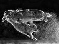 عکس خارقالعاده از پرش خرگوشها