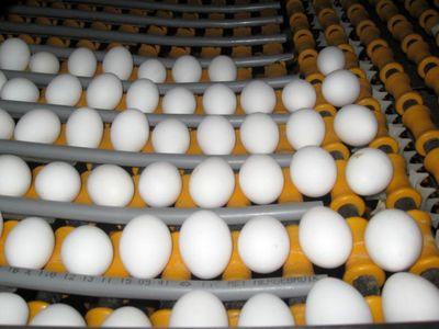 ۵درصد؛ تعرفه واردات تخم مرغ