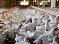 منطق واردات مرغ خارجی گران چیست؟/ قیمت هر کیلو مرغ وارداتی با ارز نیمایی بیش از 20هزار تومان