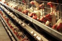 مشکلی در تامین واکسن آنفلوانزای پرندگان نداریم
