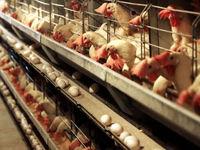 صادرات مرغ نداشتیم که متوقف شود!