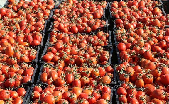 بیش از ۱۳تن گوجه فرنگی قاچاق در گمرک دیر کشف شد