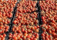 رشد تقاضا، عامل گرانی گوجه فرنگی زمستانی