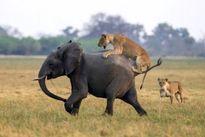 جدال دیدنی از نبرد شیر و فیلها +تصاویر