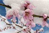 سرمازدگی یک هفته اخیر هزار میلیارد تومان به باغات کشور خسارت زد