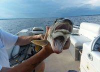 صید یک ماهی که دو دهان دارد! +عکس
