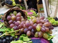 جشنواره استانی انگور سیاه در بانه +تصاویر