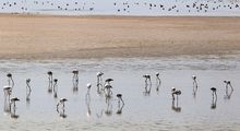 حضور بیش از چهلهزار فلامینگو در پارک ملی دریاچه ارومیه +عکس