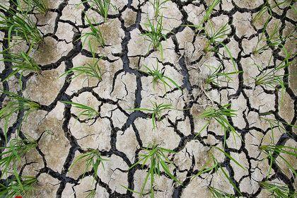 زنگ خطر خشکسالی در شالیزارهای مازندران +تصاویر