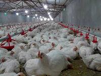 خطر مرگ میلیونها مرغ در مرغداریهای چین