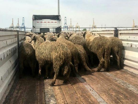 گوسفندهای دمدراز وارداتی هم شایعه ساز شدند +عکس