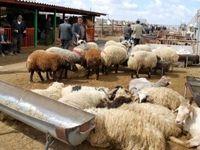 افزایش قاچاق دام زنده به عراق