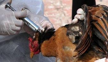 گونه جدید آنفلوانزای مرغی کشورهای آسیایی را درگیر کرد