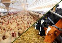 افشاگری وزارت جهاد کشاورزی از پشت پرده افزایش قیمت ذرت