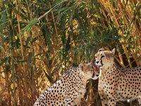 روز ملی حفاظت از یوزپلنگ آسیایی +تصاویر