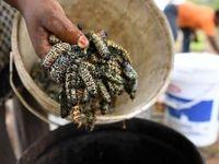 غذای عجیب مردم بوتسوانا +عکس