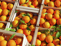 امکان اعلام قیمت قطعی برای پرتقال وجود ندارد/ هزینهها روزانه تغییر میکند