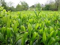 نرخ خرید برگ سبز چای هنوز تعیین تکلیف نشده است / وعده به بهمن ماه افتاد