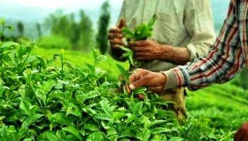 پرداخت 107میلیارد ریال تسهیلات بهزراعی به چایکاران شمال
