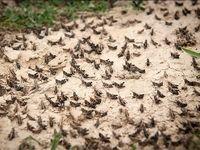 ملخ صحرایی با سمپاشهای نوین قابل کنترل است