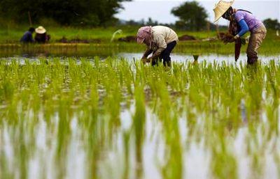 فقط ۲ استان شمالی کشور مجاز به کشت برنج هستند