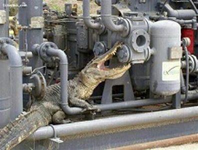 تمساح مهمان ناخوانده عسلویه! +عکس