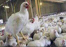 مرغداران جوجهریزی را کاهش میدهند