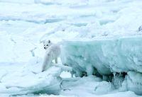 شکار روباه قطبی در عکس روز نشنال جئوگرافیک +تصویر