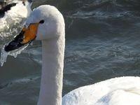 تصویری جالب از یخ زدن نوک قو