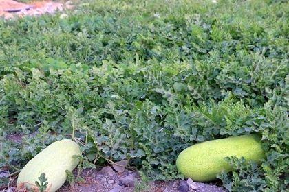 برداشت هندوانه در گچساران +تصاویر