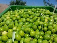 تولید ۹۰هزار تن دانه زیتون در سال جاری