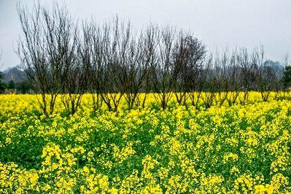 مزارع کلزا در شرق مازندران +تصاویر