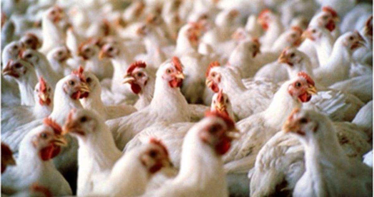 مرغ از قفس پرید!