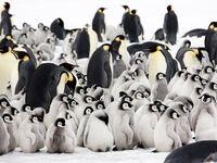 تصاویری منحصر بهفرد از پنگوئنهای امپراتور