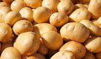 دورانی که سیب زمینی خوراک دام و مصرفش توسط انسانها جرم بود!
