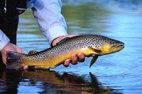 کاهش ۵۰درصدی صید ماهیان استخوانی